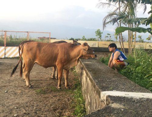 宜蘭壯圍牛頭司 再現消失的耕牛文化
