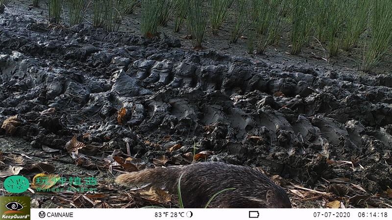 玩艸植造_蒲草田拍攝到二級保育食蟹獴