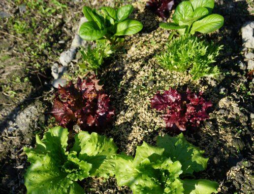 想在家種菜綠生活 去哪裡買土和菜苗?