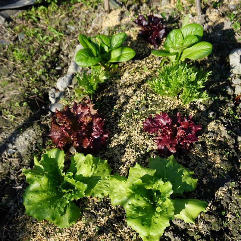在家種菜 萵苣長大了