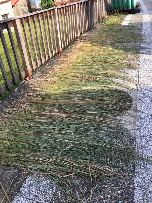 小琉球居民在路旁曬的草