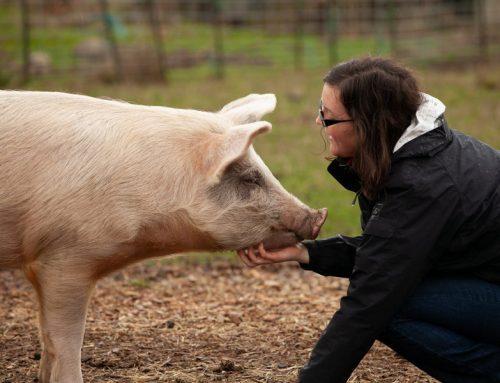 你知道住在丹麥的豬 比丹麥人還要多嗎?