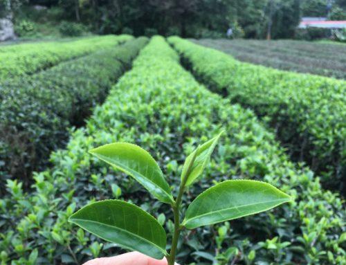 宜蘭|喝手搖茶飲卻沒採茶過?我在冬山正福茶園體驗製茶(上)