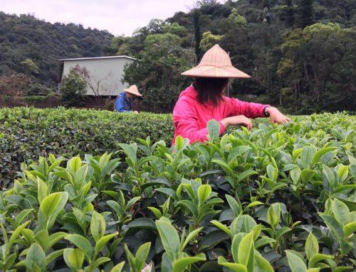 宜蘭|喝手搖茶飲卻沒採茶過?我在冬山正福茶園體驗製茶(下)