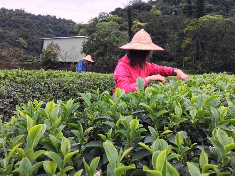 正福茶園_體驗採茶