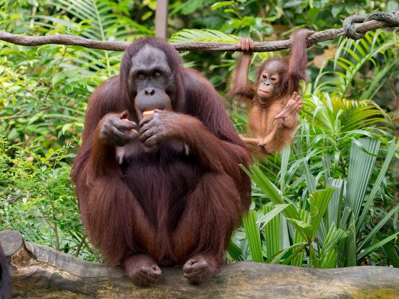 大規模破壞熱帶雨林 紅毛猩猩瀕臨絕種