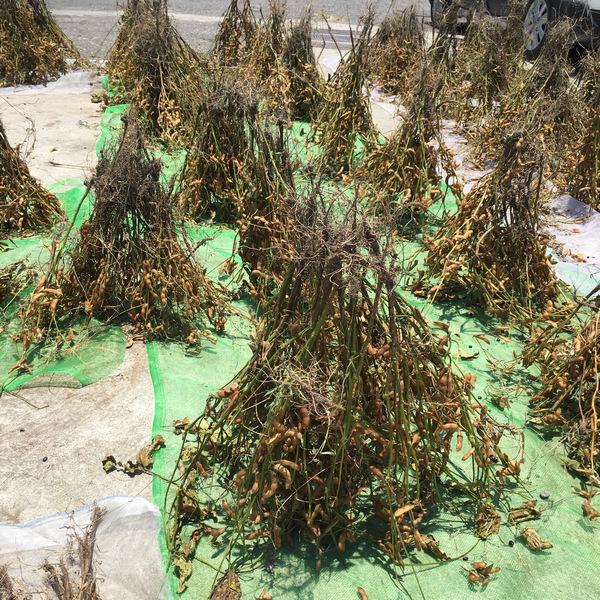 自然農法黑豆田
