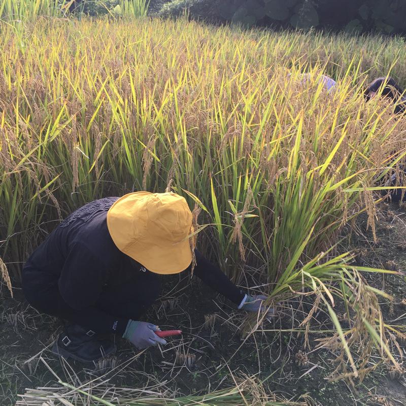 宜蘭音樂米 手割稻 農事體驗旅行